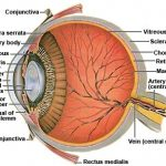 Cutaway of the anatomy of a dogs eye